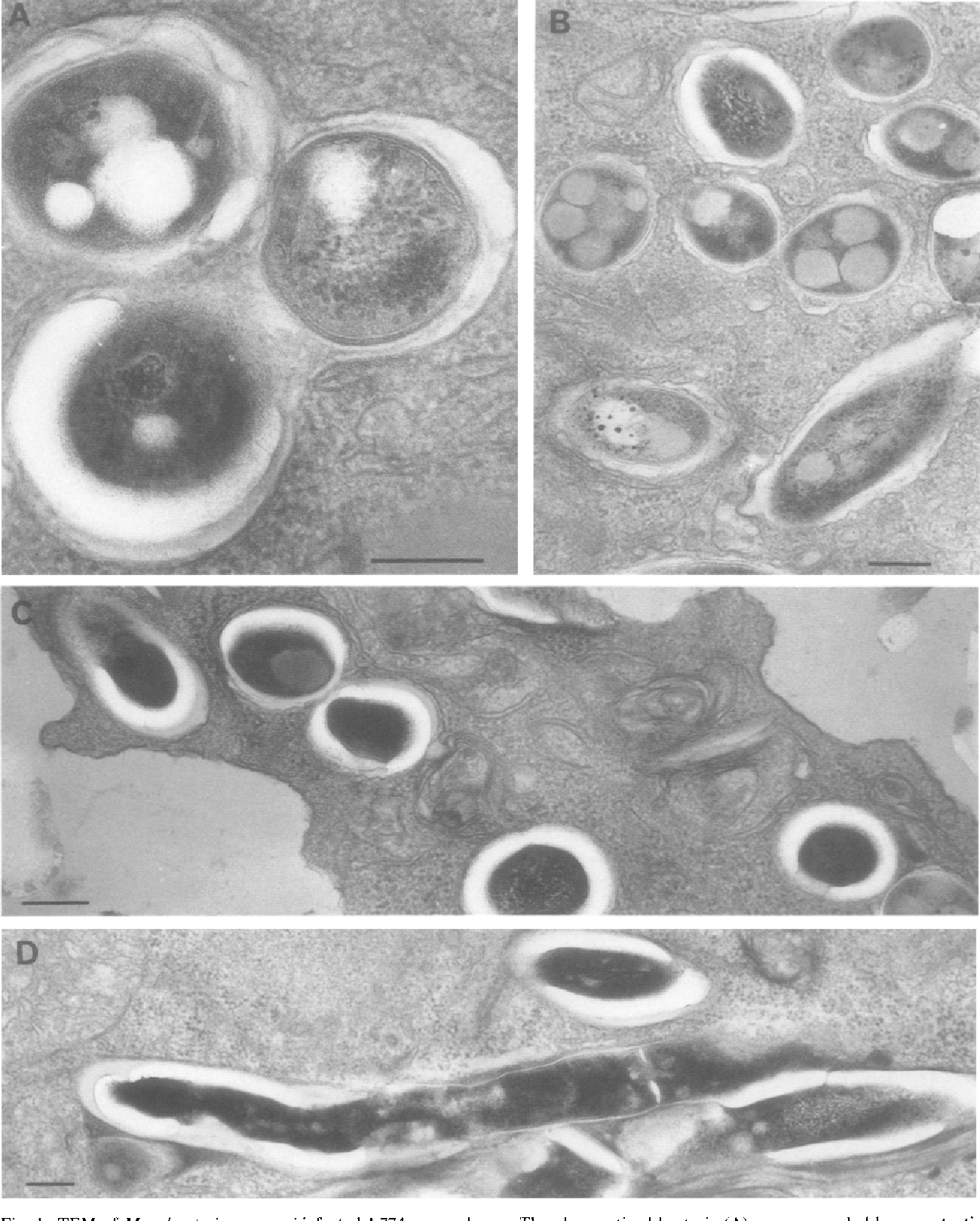 bacterie xenopi