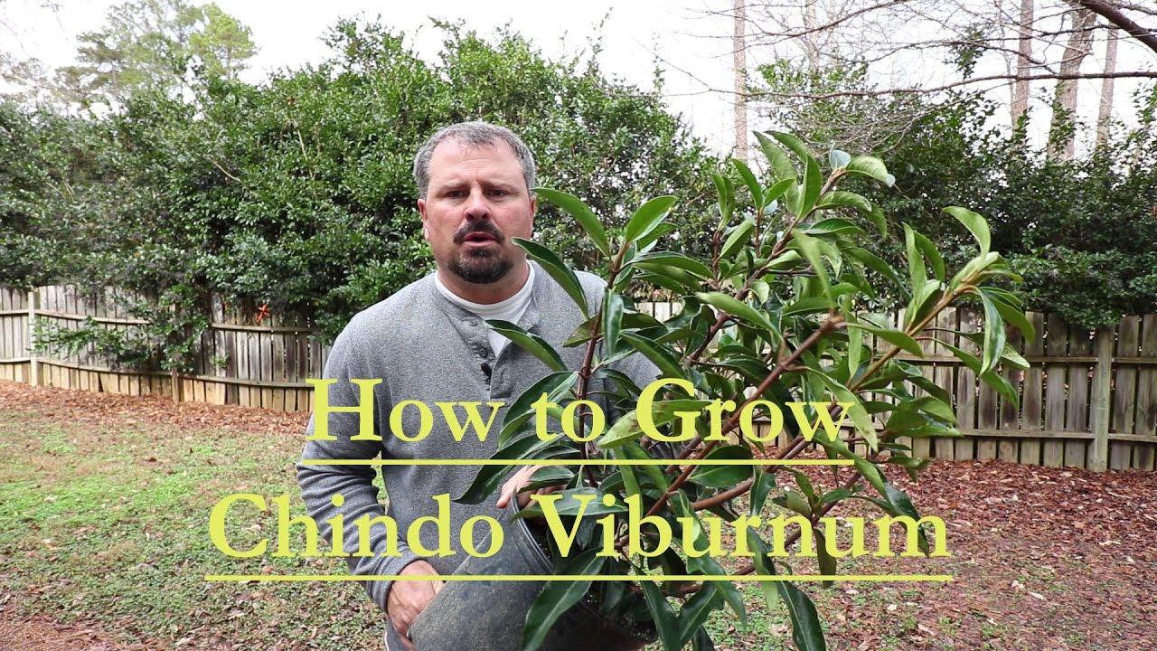 viburnum derivat din paraziți crioterapie papiloame