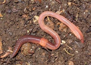 tinctură pentru verucile genitale