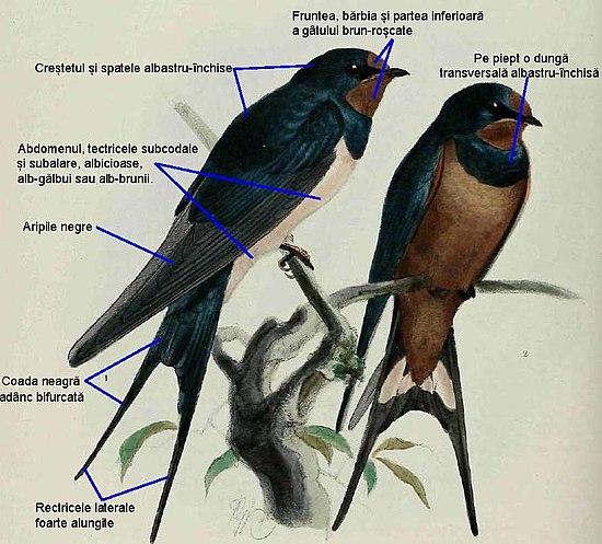 Pasăre cu capul roșu: titlu - Păsări -