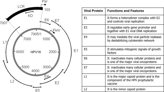Human papillomavirus virus family