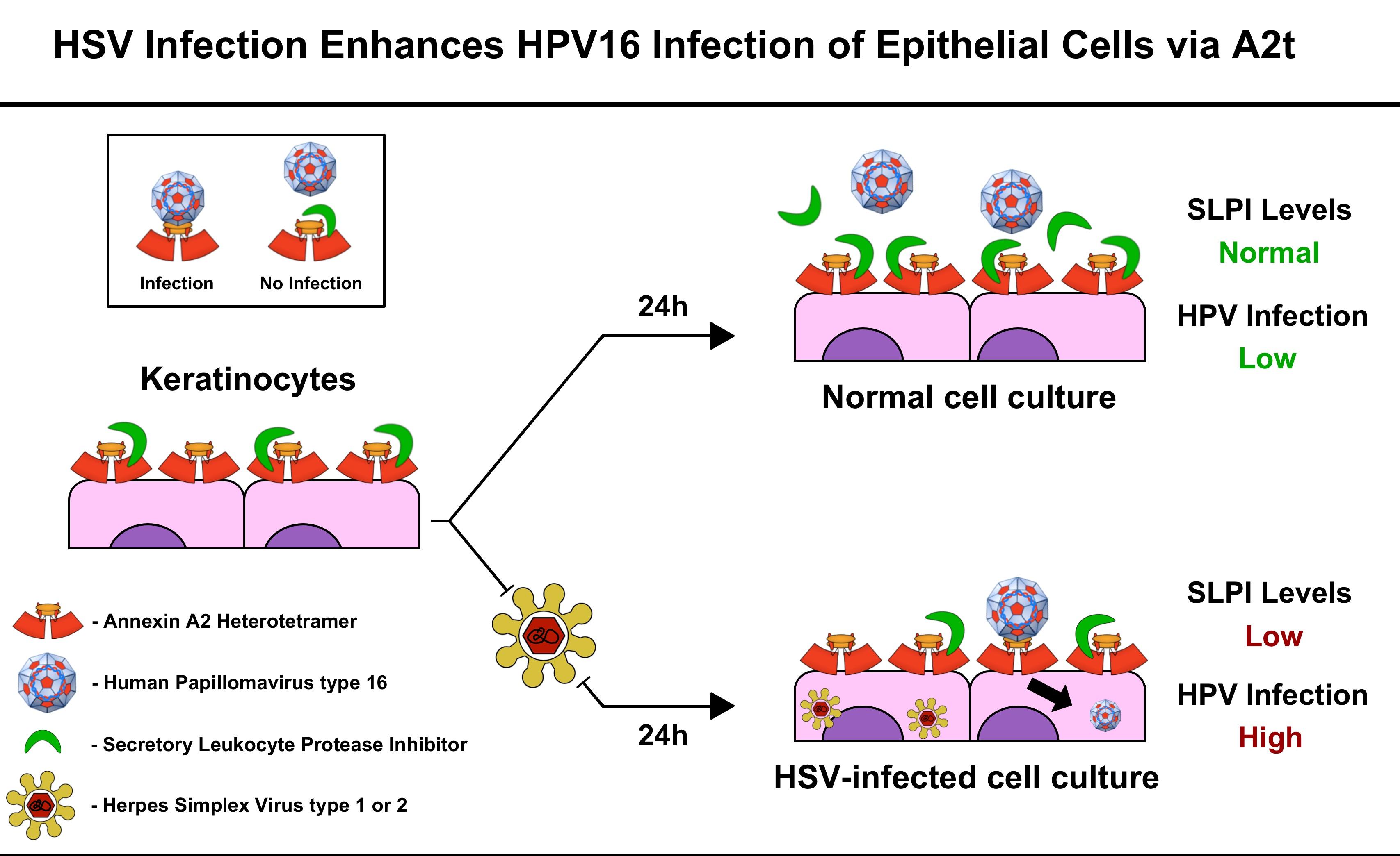 Hpv virus same as herpes