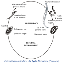oxyuris vermicularis life cycle