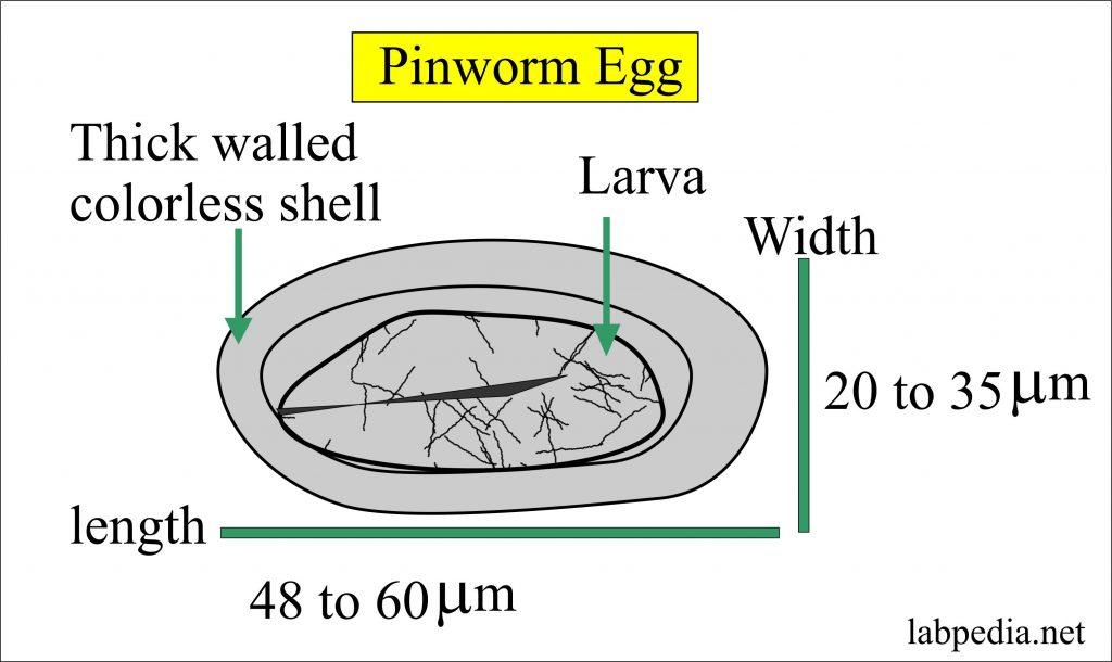 enterobiasis helix