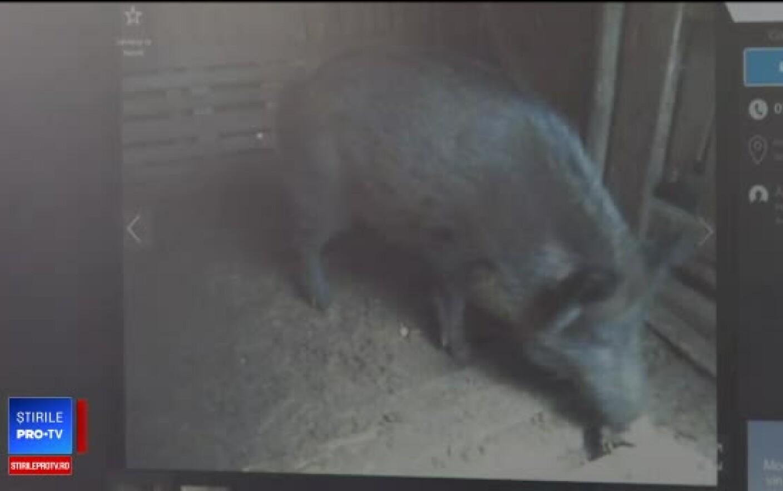 VIDEO/PĂULEŞTI: Un porc mistreţ imens, filmat când merge prin faţa curţilor
