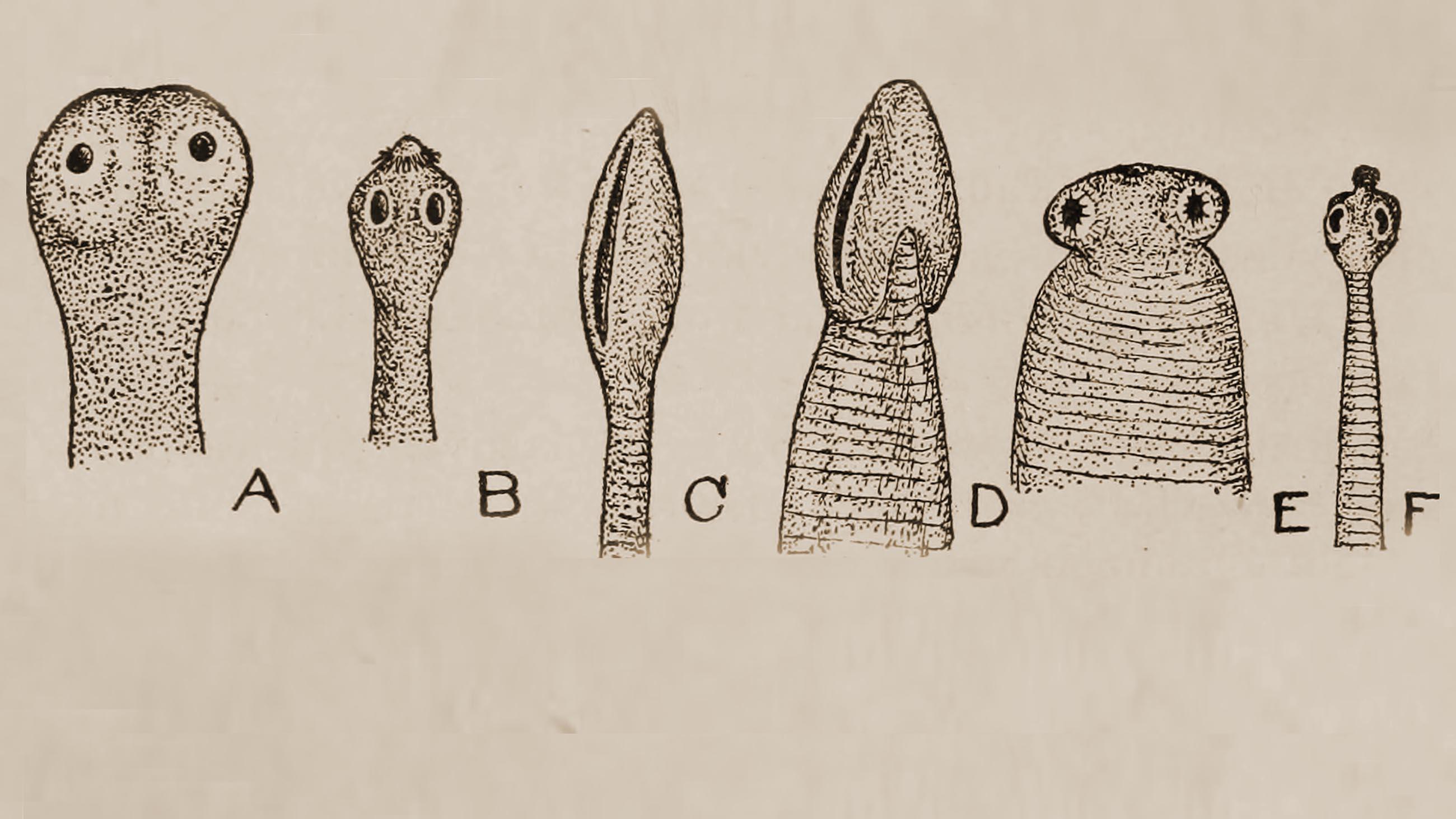 parasitic helminth larvae