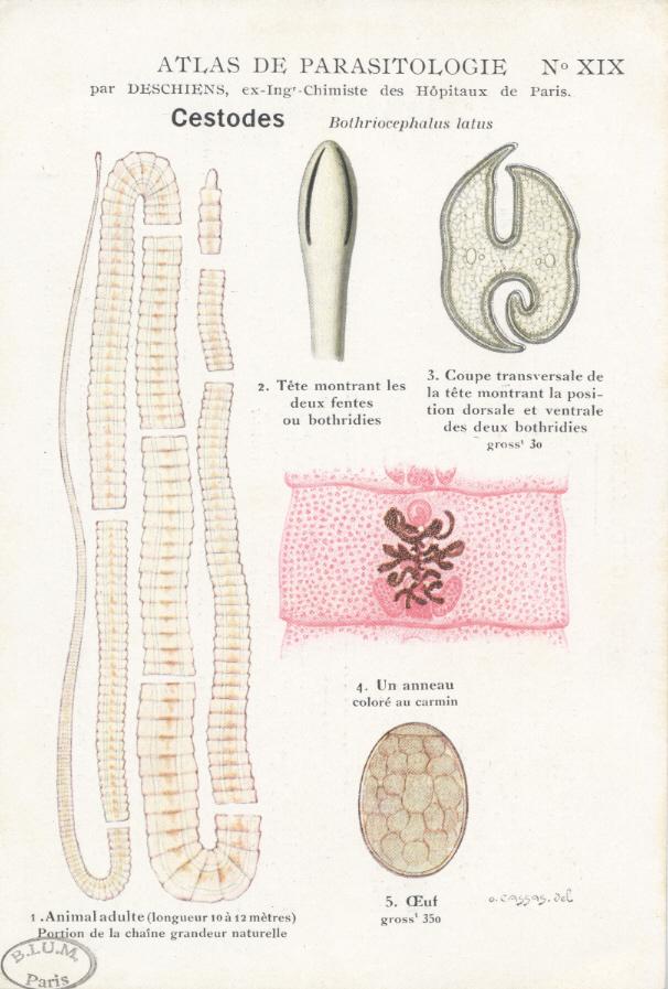 plathelminthes faringelui