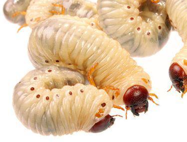 Profilaxie de vierme rotunde. Prin cât timp ar trebui să acționeze tableta de vierme