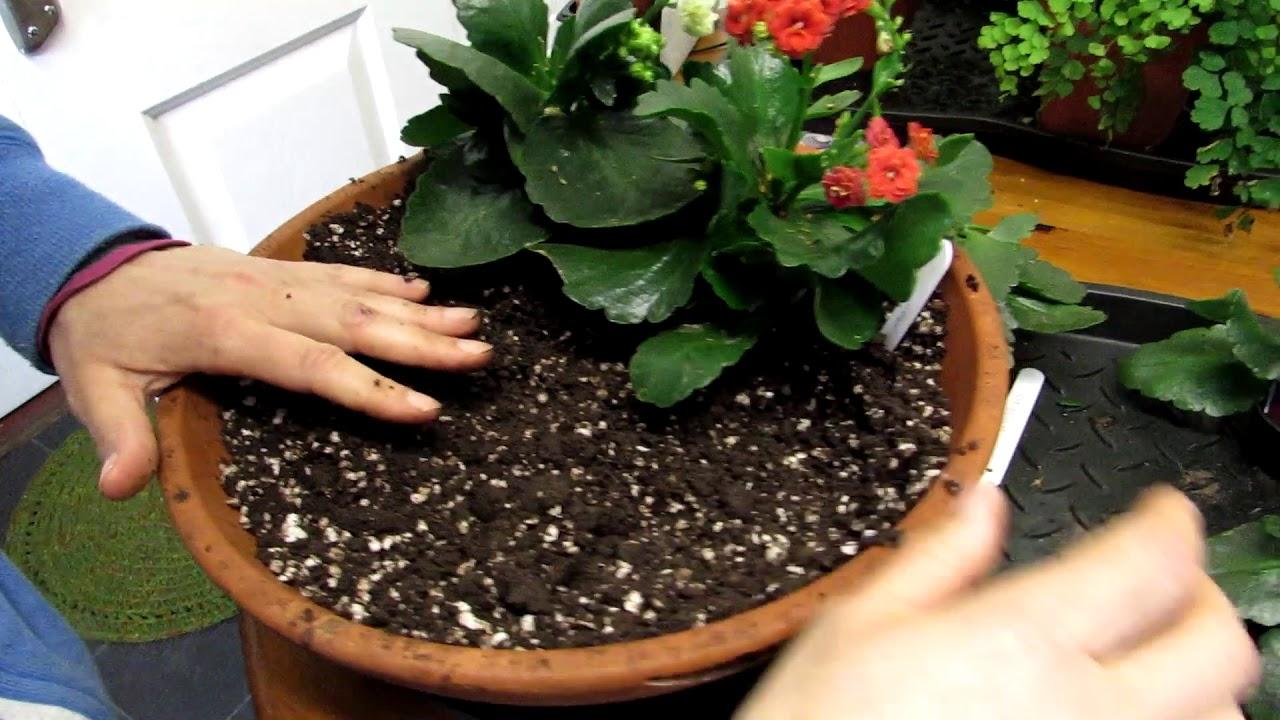 condilom și Kalanchoe tratament preventiv pentru viermi rotunzi