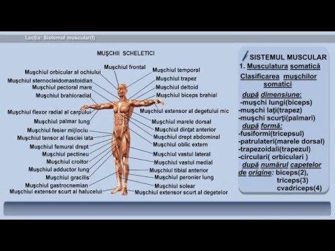 viermi rotunzi în mușchii umani