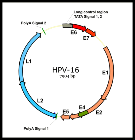 virus hpv tuyp 16