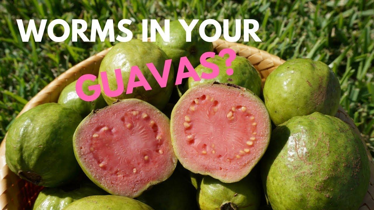 gyava worm în engleză