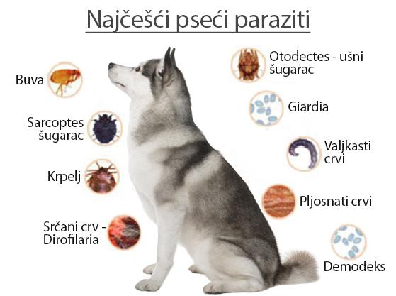 kako izgledaju paraziti kod pasa
