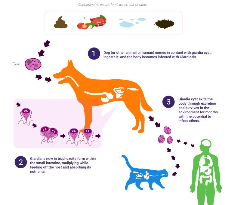 Giardia hond niet behandelen, Papilloma dotto seno - Ganglioni cancer uterin