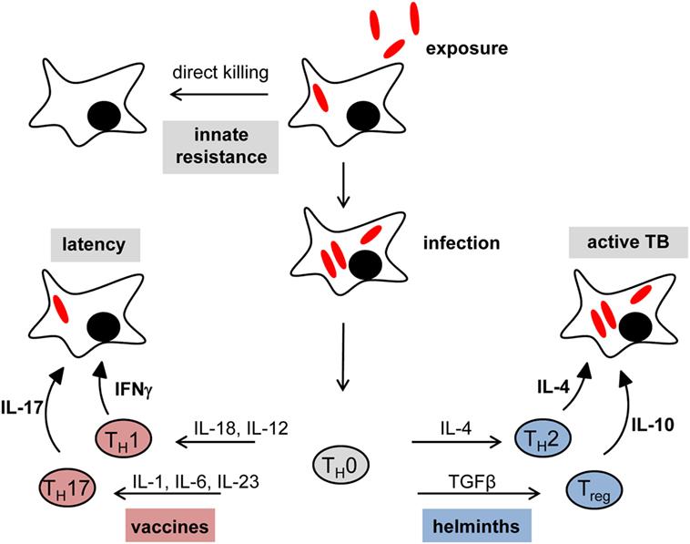 Tricocefaloză, Helminth infections who