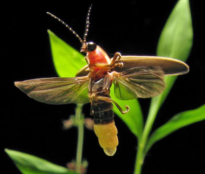 Dactylogyrus - Wikipedia