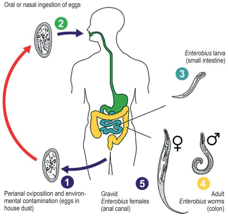 Enterobius vermicularis ciclo biologico - Enterobius vermicularis parasitologia