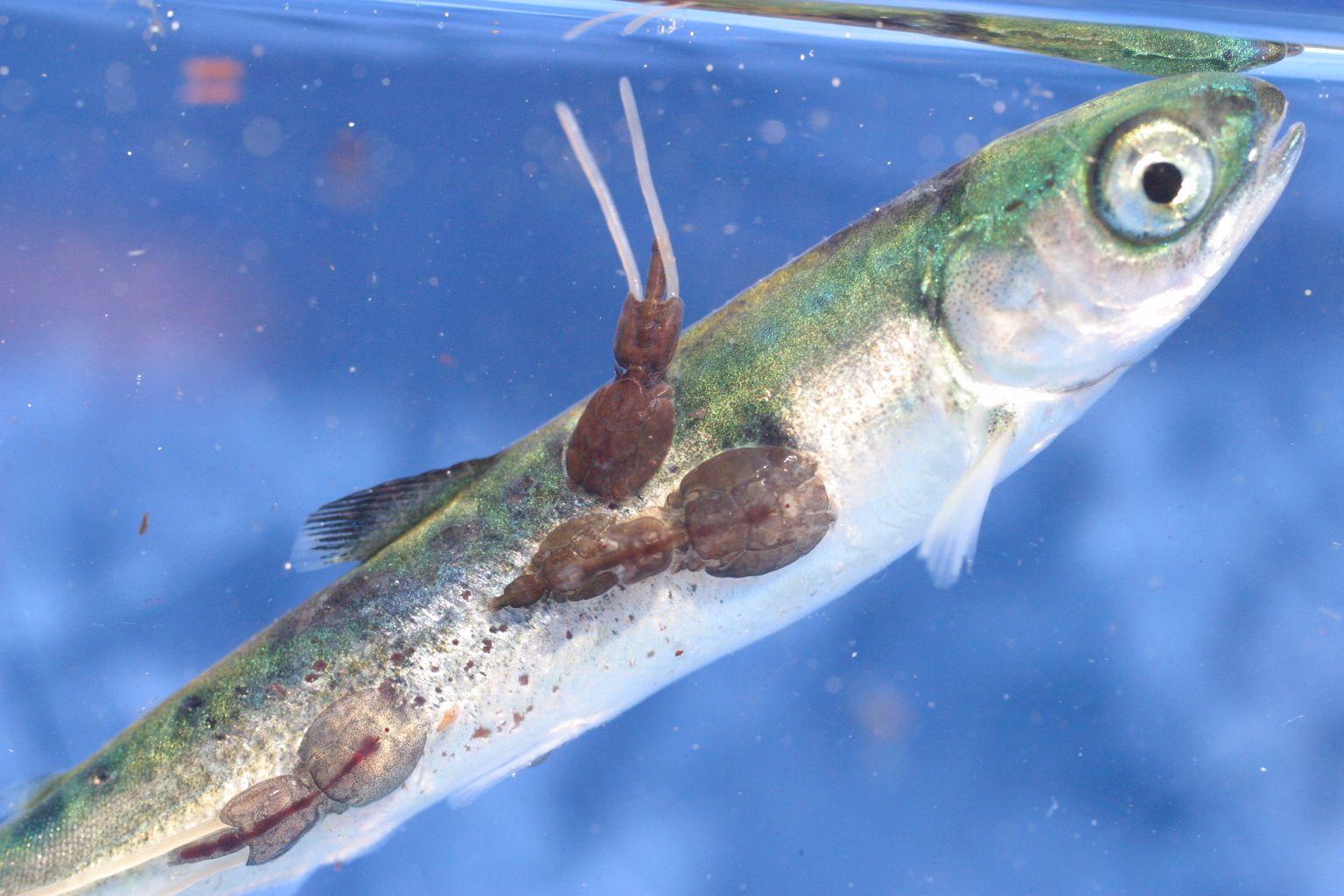 ryba paraziti hpv warts last how long