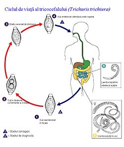 viermi intestinali copii