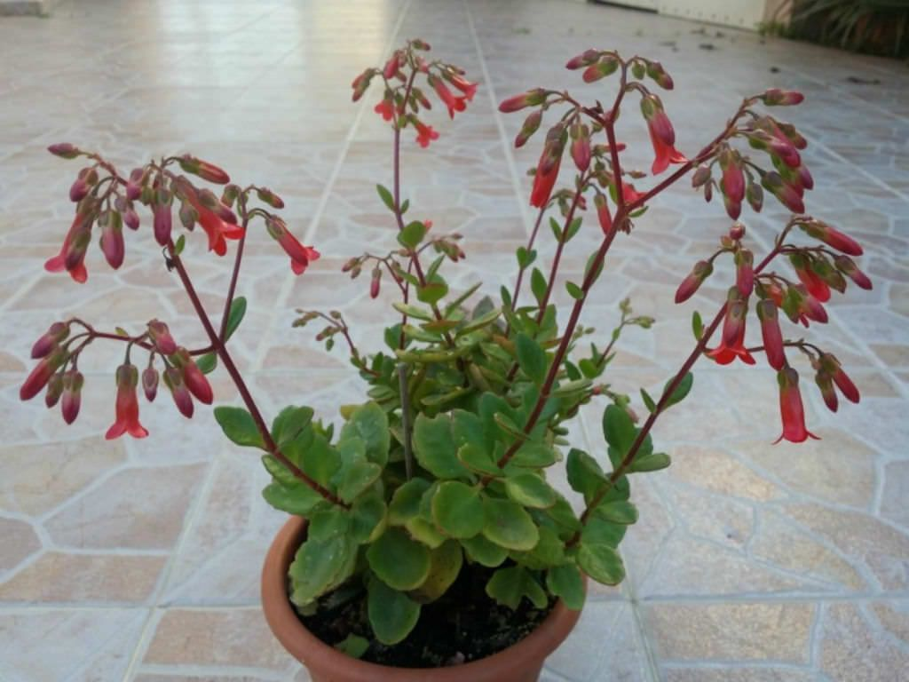 condilom și Kalanchoe papilloma virus italiano sintomi