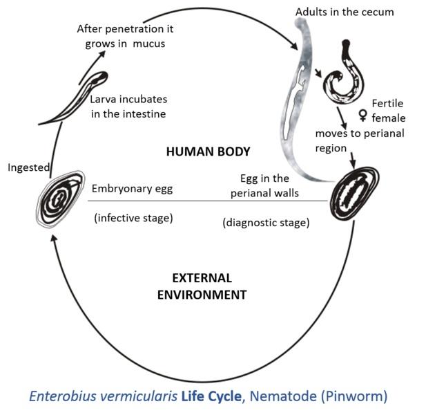Pinworm ou ou femele pinworms femele