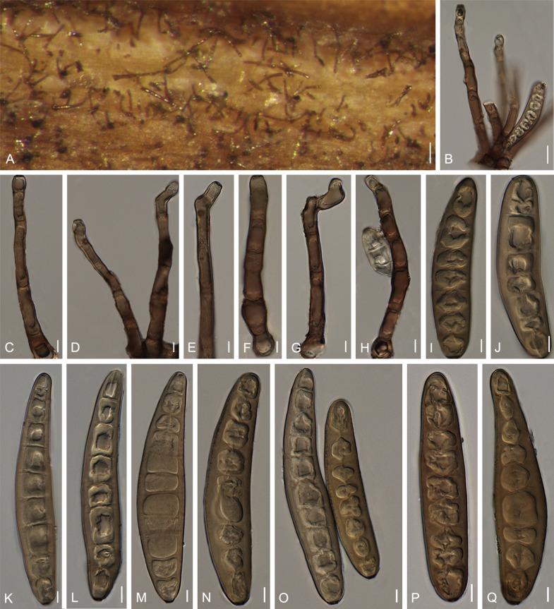 Helminthosporium maydis taxonomie