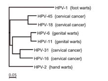 human papillomavirus 8