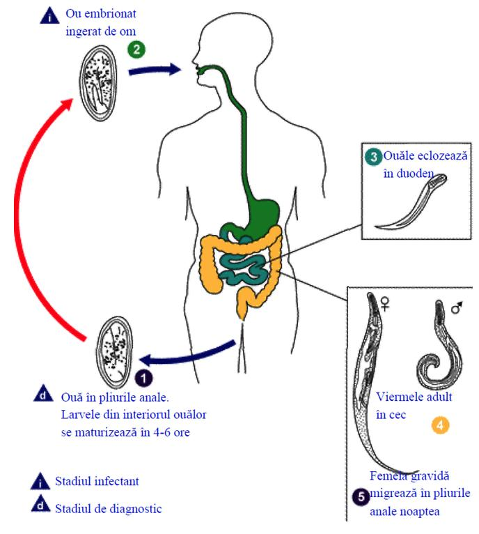 viermi subțiri albi mici ca tratat cel mai eficient pentru condiloame