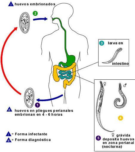 Familia del oxiuros. Oxiuroza (Enterobioza) - Familia del oxiuros