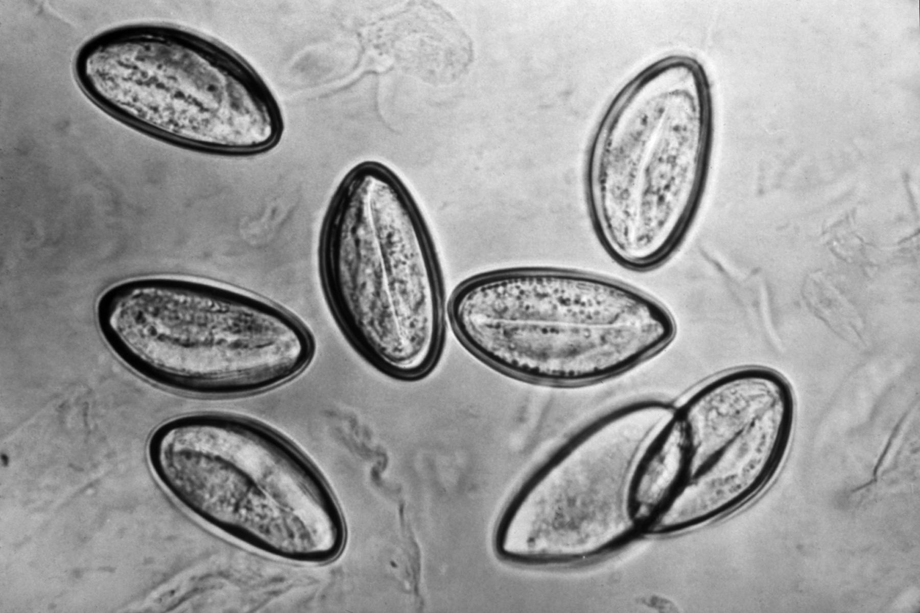 Enterobius vermicularis genus