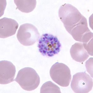 parazit al malariei