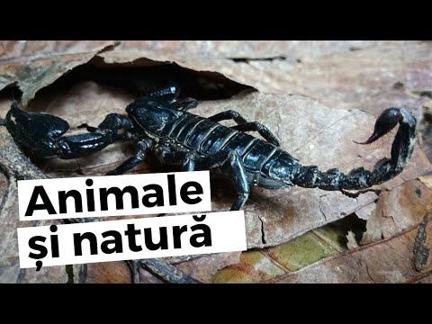 viermele parazitar al viermei roții