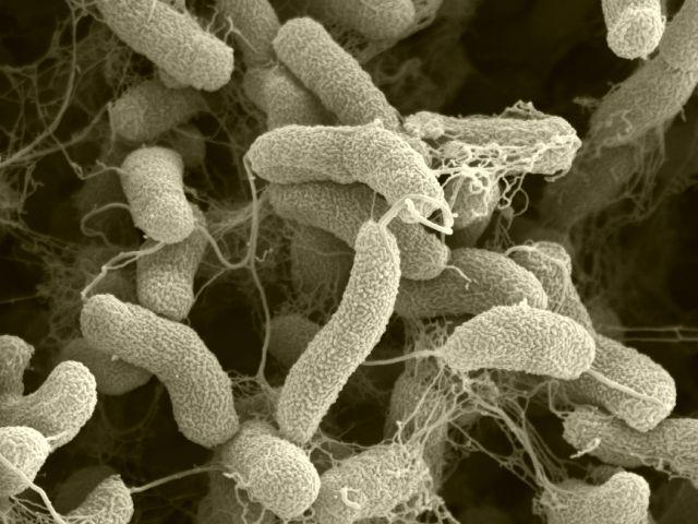 Bacterii rele exemple. Fa cunostinta cu bacteriile bune din intestin!, Bacterii rele exemple