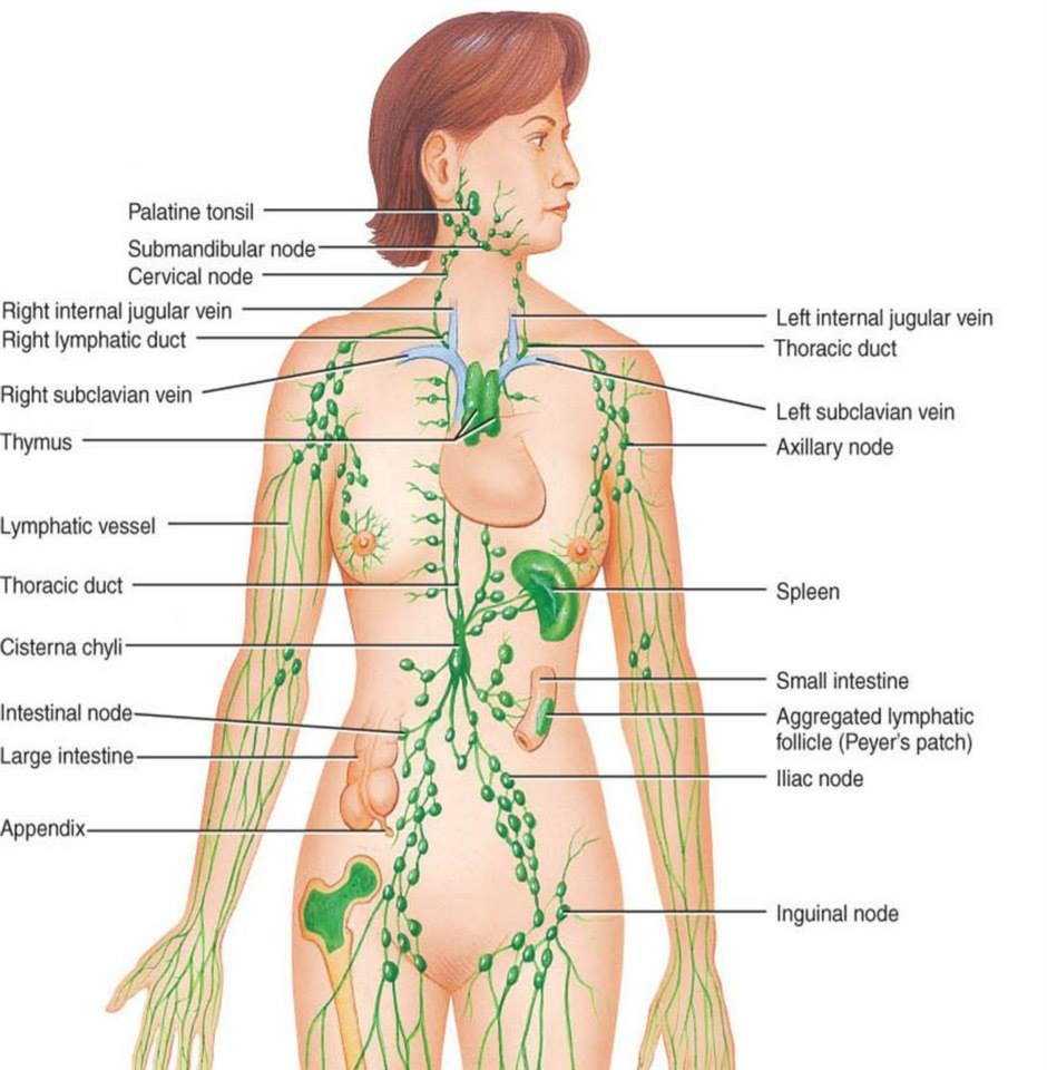 Filarioza limfatică - simptome și tratament Tratamentul parazitului limfatic
