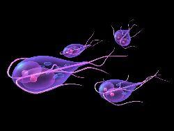 paraziti chisturi lamblia preparate inofensive de vierme