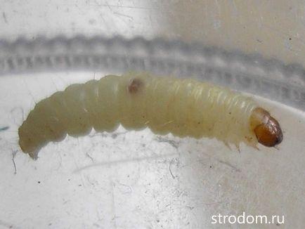 cum să scapi de larvele de vierme