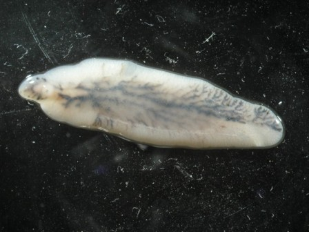 Plan corporal tip platyhelminthes