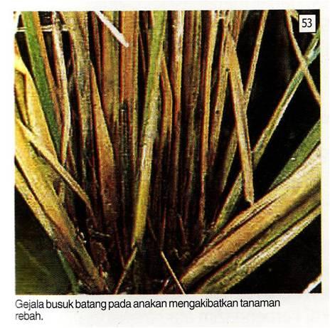 helminthosporium oryzae padi helmintox notice