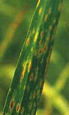 helminthosporium sativum papilloma in foot