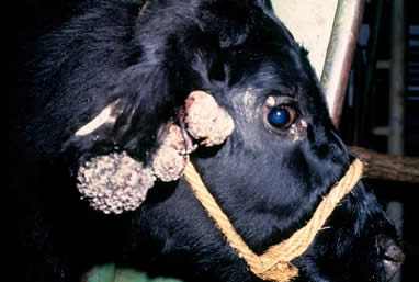 Negii sunt Vaca: cauze si tratament