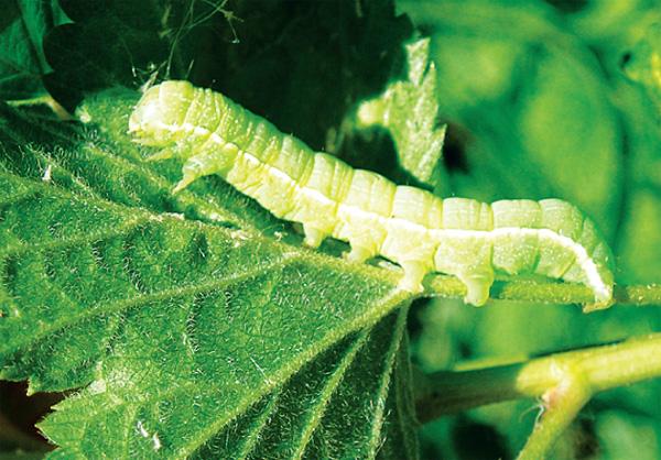 cum arată larvele de raze oxiuros na gravidez