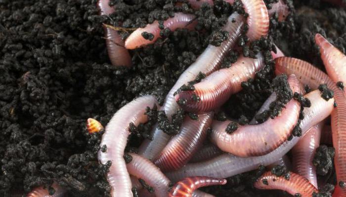 viermi găsiți în grădina copilului viermi la oameni, cum să scapi