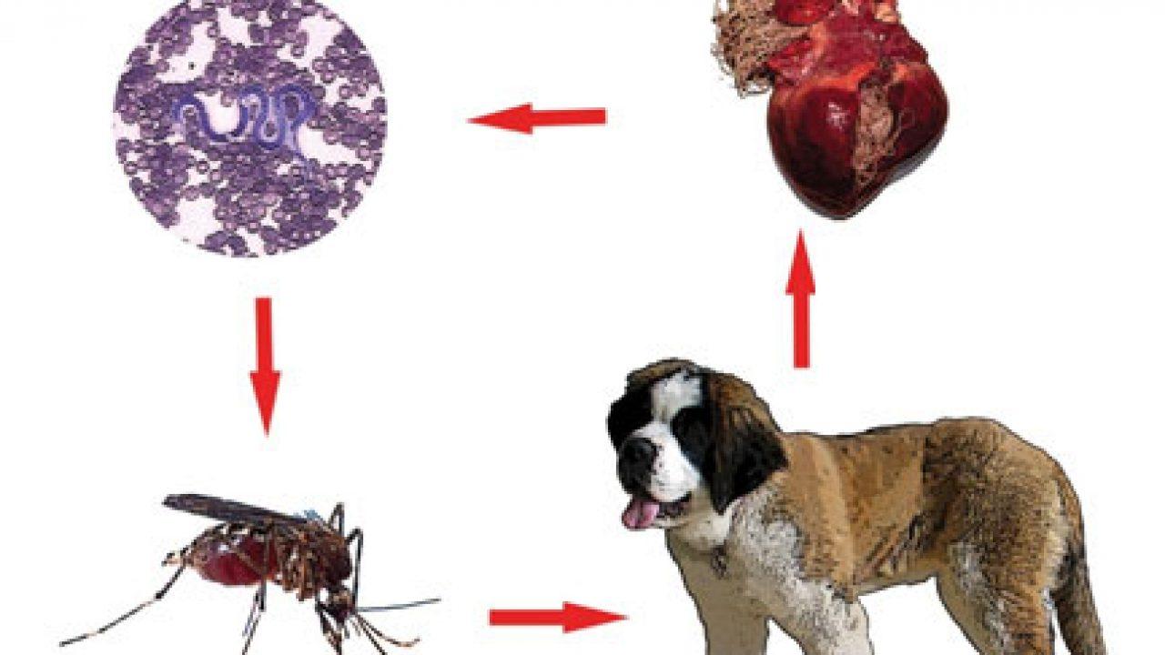 papillomavirus temps d incubation
