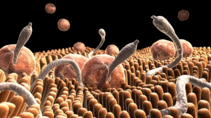 Simptome paraziti fiere Paraziti la fiere