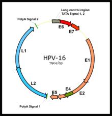 incubation period for papilloma virus