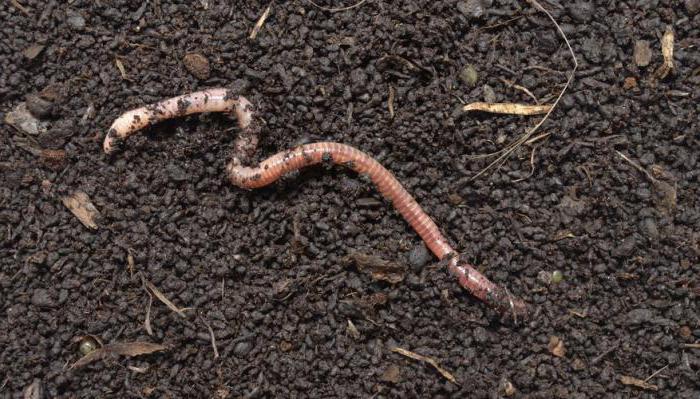 viermi găsiți în grădina copilului papilom pe pleoapă cum se elimină