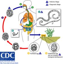 types of helminth diseases papillomavirus homme se soigne