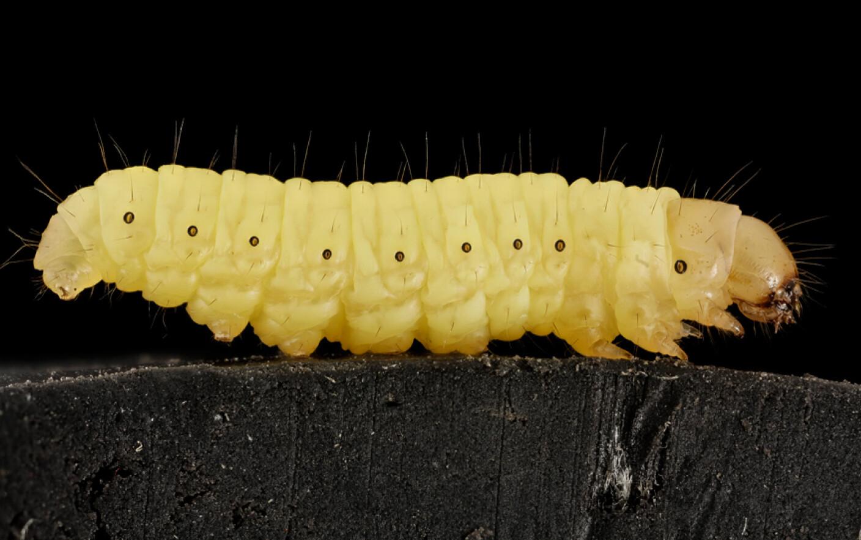 vierme rotunde în anus