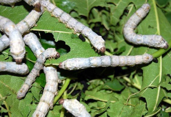 viermii de pin din scaun trăiesc